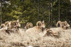 在foresr的比格霍恩公绵羊或公羊羊属canadensis大哺乳动物在不列颠哥伦比亚省加拿大东部 图库摄影