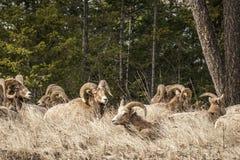 在foresr的比格霍恩公绵羊或公羊羊属canadensis大哺乳动物在不列颠哥伦比亚省加拿大东部 库存图片