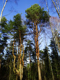 在foresrt的树 免版税库存照片