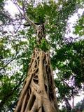 在forestBig树根的树 免版税库存图片