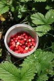 在forrest的北欧人的莓果采摘 库存照片