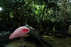 在Forrest的桃红色火鸟鸟 库存图片