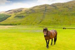 在Fortingall苏格兰附近的马 免版税库存图片