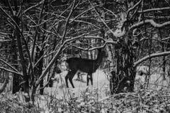 在fotest的獐鹿 免版税库存照片