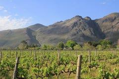 在Franschhoek南非附近的葡萄园 免版税库存照片