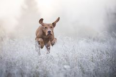 在freezy冬时的匈牙利猎犬 免版税图库摄影