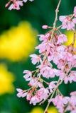 在Funaoka城堡的啜泣的樱花在春天破坏公园,柴田,宫城, Tohoku,日本 免版税库存照片