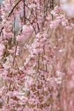 在Funaoka城堡的啜泣的樱花在春天破坏公园,柴田,宫城, Tohoku,日本 图库摄影