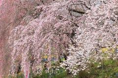 在Funaoka城堡的啜泣的樱花在春天破坏公园,柴田,宫城, Tohoku,日本 免版税库存图片