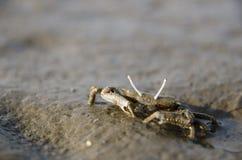 在Gaomei沼泽地找到的螃蟹 免版税库存照片