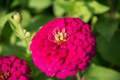 在garden3的一朵桃红色大丁草花 免版税库存照片