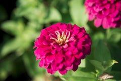 在garden2的一朵桃红色大丁草花 免版税库存图片