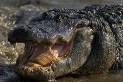 在Gatorland的美国短吻鳄;奥兰多,佛罗里达 图库摄影
