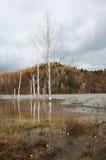 在geamana的被淹没的树 免版税库存图片
