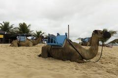 在Genipabu沙丘的独峰驼骆驼在新生, RN,巴西 库存图片