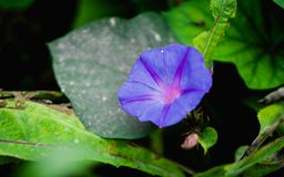 在Genting高地的紫色花 免版税库存图片