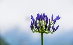 在Genting高地的黑暗的紫色花 库存图片