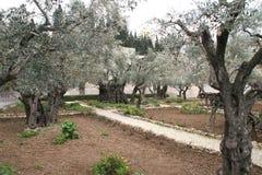 在Gethsemane附近的橄榄色的庭院在耶路撒冷,以色列 图库摄影