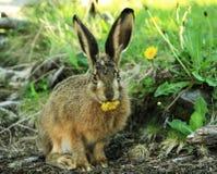 在Glaciars国家公园的欧洲野兔 库存图片