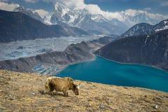 在Gokyo Ri,珠穆琅玛地区,尼泊尔的牦牛 免版税库存图片