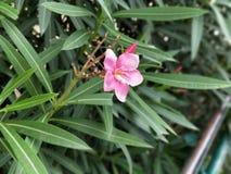 在golconda堡垒的桃红色花 库存图片