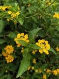 在Golconda堡垒的黄色花 免版税库存图片