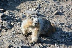 在Gondala顶部的古老的土拨鼠在班夫 图库摄影