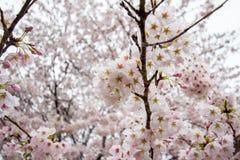 在Gongendo的充分开花的樱花在Satte,埼玉,日本停放 免版税库存照片