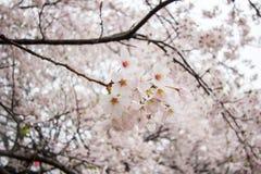 在Gongendo的充分开花的樱花在Satte,埼玉,日本停放 库存照片