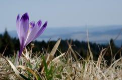 在Gorce山的番红花scepusiensis 免版税库存图片