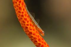 在Gorgonian珊瑚的鞭子虾虎鱼 库存图片