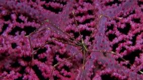 在gorgonian珊瑚Lembeh海峡的蜘蛛矮小龙虾Chirostylus sandyi 股票视频
