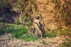 在gorund的企鹅立场动物园 免版税库存照片