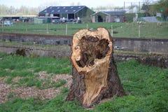 在Gouwe,荷兰的河岸的腐烂的柳树trunck在荷兰扁圆形干酪的 库存图片