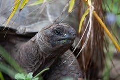 在gras之间的一只大乌龟 图库摄影