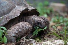 在gras之间的一只大乌龟 库存图片