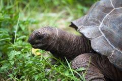 在gras之间的一只大乌龟 库存照片