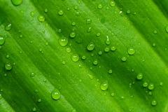 在gree叶子的露水 免版税库存照片