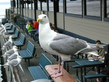 在Guarde的海鸥 库存图片