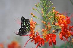 在gulmohar的蝴蝶 免版税库存照片