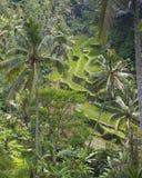 在Gunung Kawi寺庙的露台的米领域 免版税库存照片