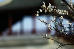 在Haiwan国民森林公园的李子开花 免版税库存图片