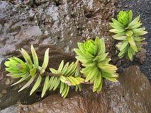 在Haleakala的多汁植物 库存图片