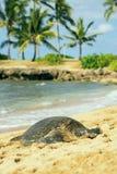 在Haleiwa, O ` ahu,夏威夷海滩的绿色seaturtle  图库摄影