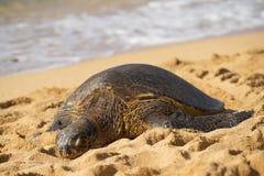 在Haleiwa, O ` ahu, Hawai `海滩的绿色seaturtle我 库存照片