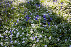 在Hallerbos木头,比利时的会开蓝色钟形花的草绽放 库存图片