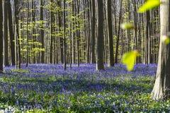 在Hallerbos木头,比利时的美丽的会开蓝色钟形花的草地毯 库存照片