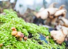 在Hallerbos的蘑菇 免版税库存照片