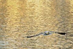 在Hallstatt,奥地利的一次黑朝向的海鸥飞行 库存照片