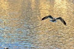 在Hallstatt,奥地利的一次黑朝向的海鸥飞行 免版税库存图片
